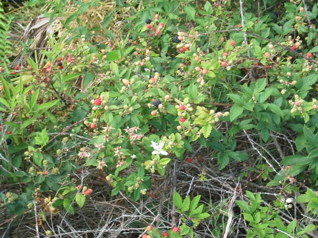 Wild blackberry bushes | Flickr - 222.4KB
