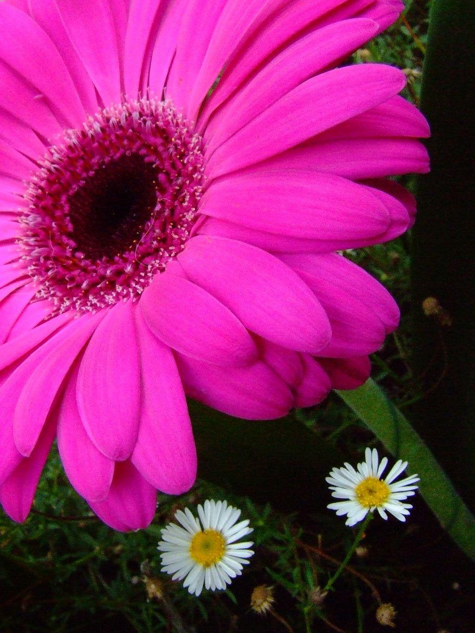 Gerbera Daisy Flower In My Backyard A Photo On Flickriver