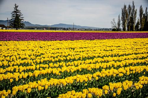 Skagit Valley Tulips-197
