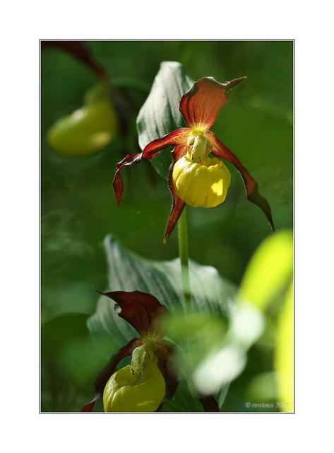 Gelber Frauenschuh (Cypripedium calceolus), Olympus E-M1MarkII, SIGMA 150mm F2.8 MACRO HSM