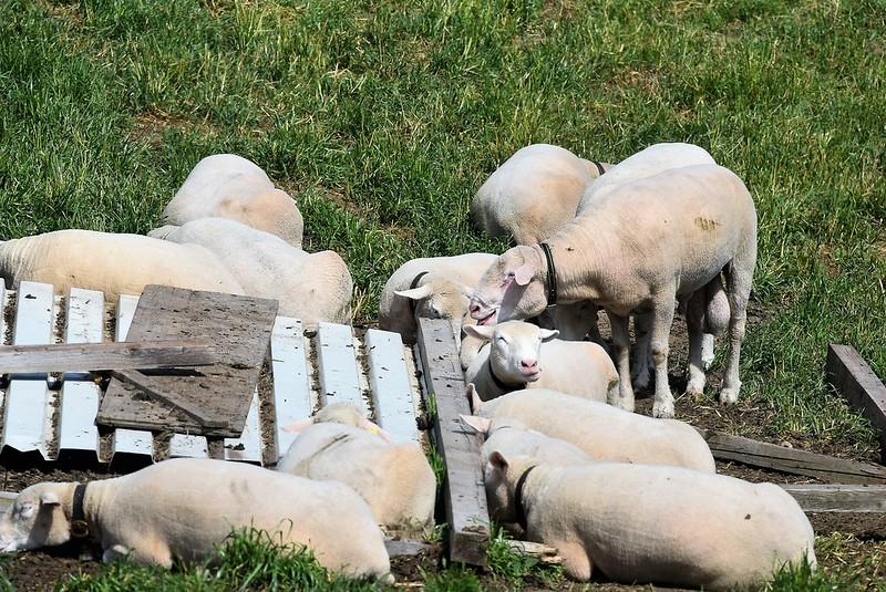 Sheep 12.05 (1)