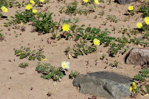 Tribulus cristatus with  lighter yellow flower