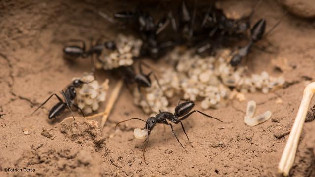 Camponotus morosus