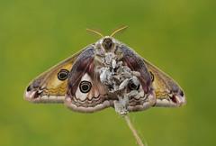 HolderEmperor Moth Underside May 2018