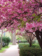 Cherry Blossoms On Continental Avenue
