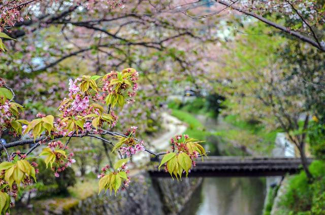 Philosopher's Path pink branch