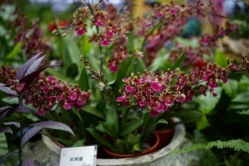 紫精靈文心蘭