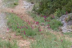 Gladiolus italicus - Photo of Tautavel