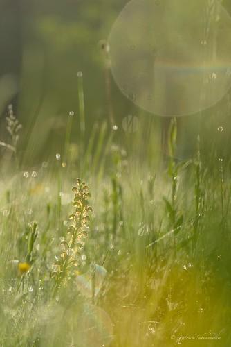 Orchis homme-pendu - Aceras anthropophora
