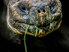 The oldest face: a Galapagos Giant Tortoise, from the point of view of the grass it was eating.