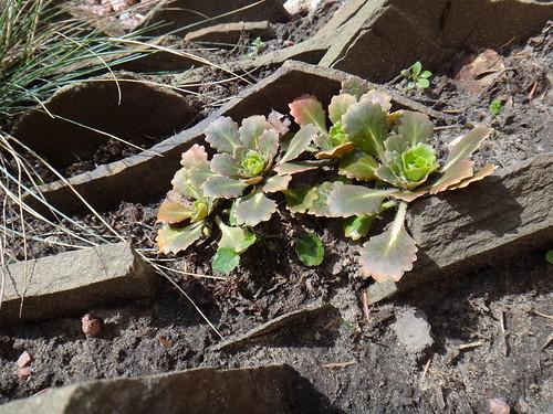 Камнеломка