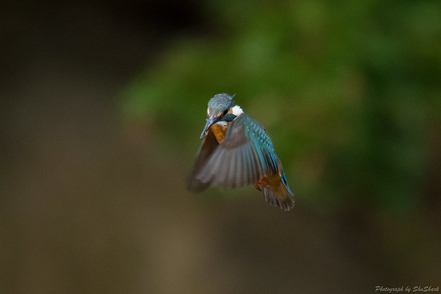 20180503-kingfisher-DSC_1256