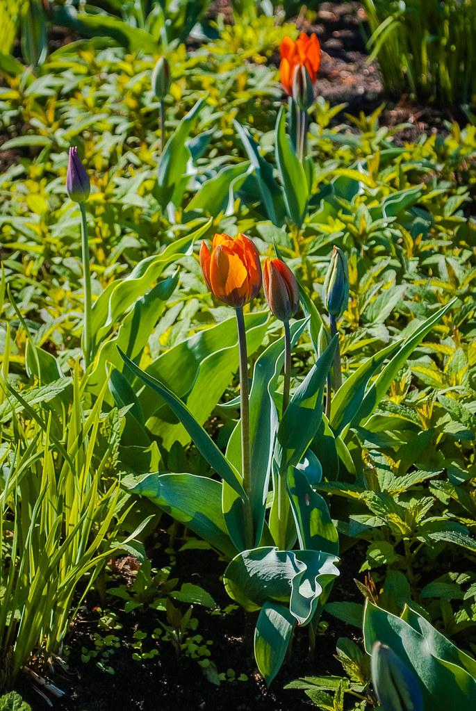 Great tulips  10:49:37 DSC_7883