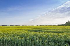 Rapeseed fields Vejle