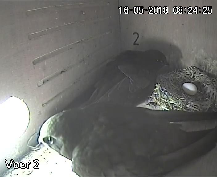 Eerste eitje nestkast 2, 16 mei 2018