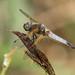 Scarce Chaser (Libellula fulva) semi-mature ♂.