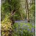 Common Bluebell / Hyacinthoides non-scripta