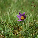 Pasque flower 'Pulsatilla vulgaris. near Cirencester, Gloucestershire