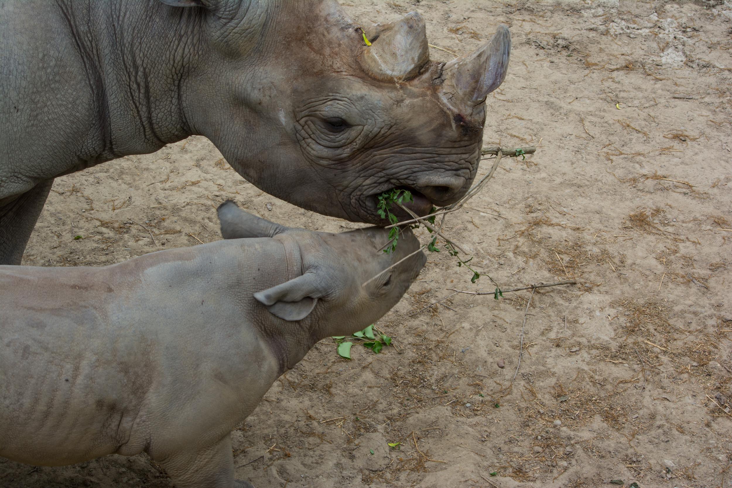 baby rhino 02 - Cleveland Zoo