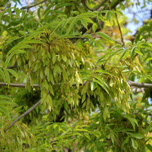 Fraxinus excelsior - frêne élevé, frêne commun 41319555684_e5b22797f5