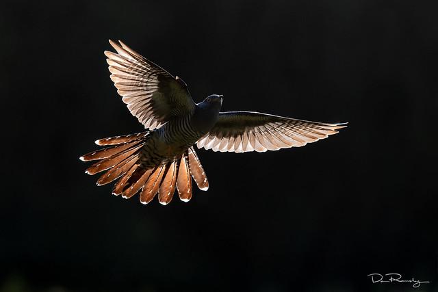 Evening Flight (cuckoo)