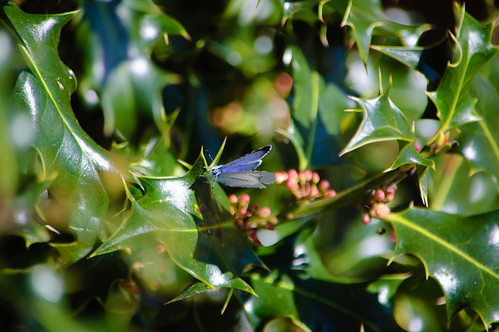 Holly blue, wings folded, on holly leaf