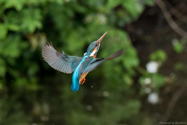 20180512-kingfisher-DSC_2113