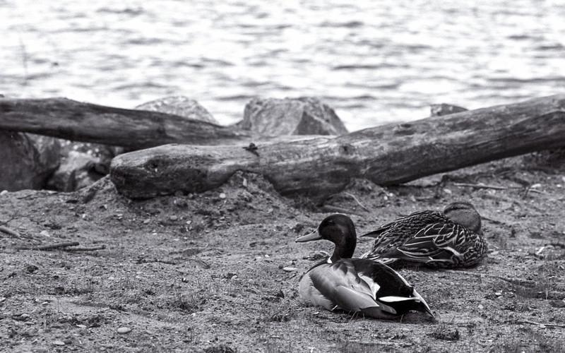 Ducks Lounging