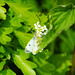 Female orange tip on jack by the hedge