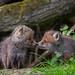 Rotfuchs - Vulpes vulpes - red fox by Juliane Myja