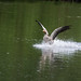 Goose making a splash in Weald Country Park