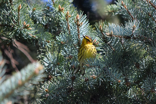 Warbler in the pines