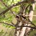 jilguero europeo (Carduelis carduelis)
