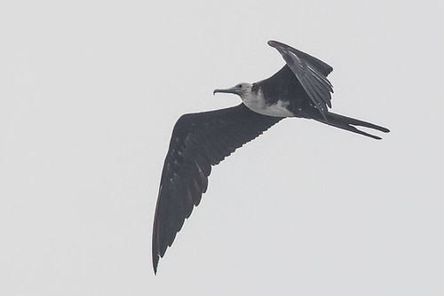 Magnificent Frigatebird  - immature