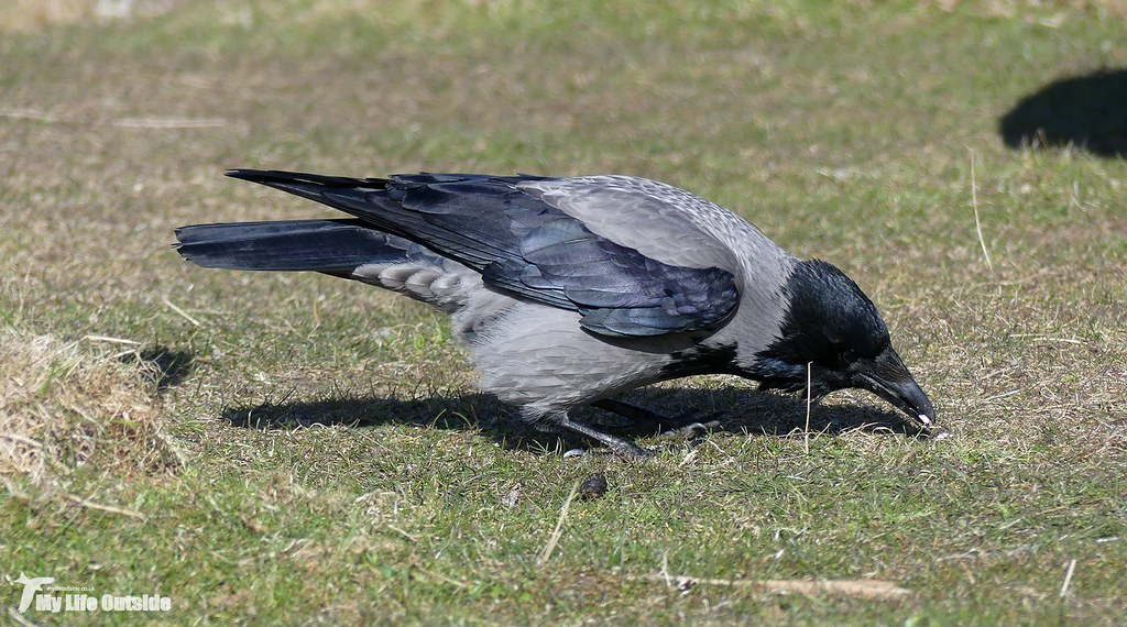 P1140419 - Hooded Crow, Isle of Mull