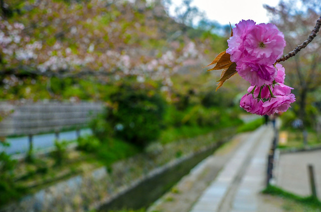 Philosopher's Path pink flower