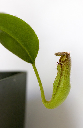 Nepenthes klossii (Clone 227) BE-3774