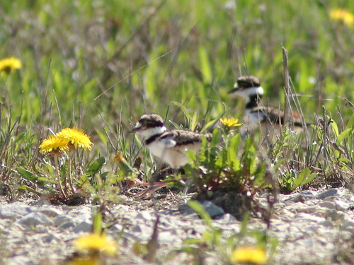 Killdeer 2 chicks 02-20180507