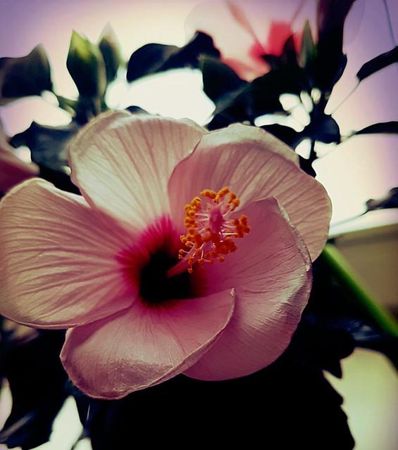 Hibiskusblüte...