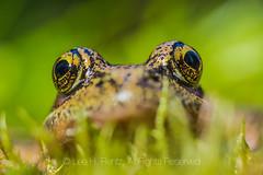 Northern Red-legged Frog, Rana aurora