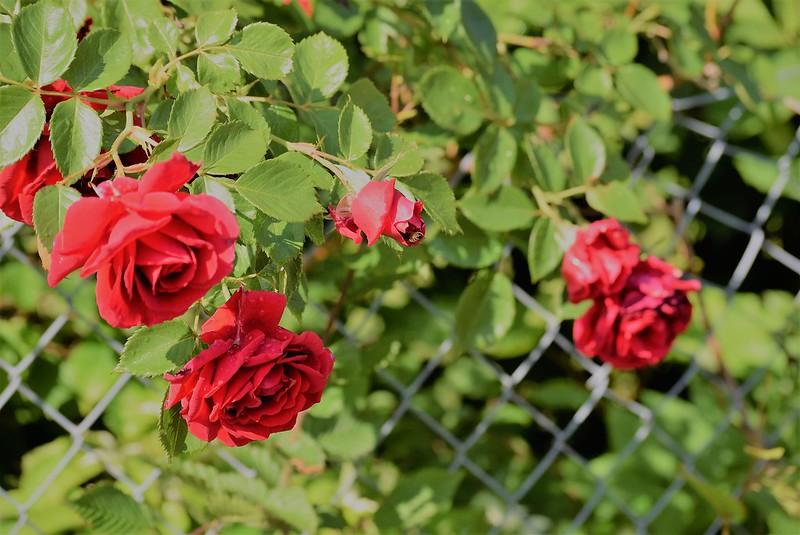 Roses 22.05.2018