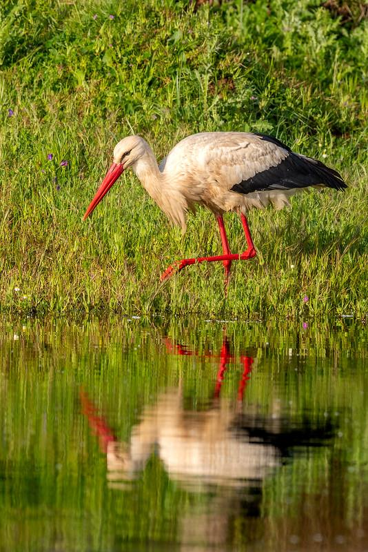 White Stork - Cegonha Branca - Ciconia ciconia