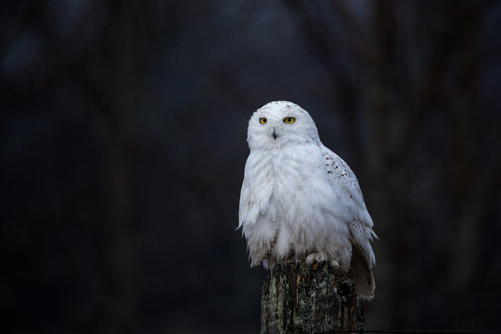Snowy Owl wet from the rain