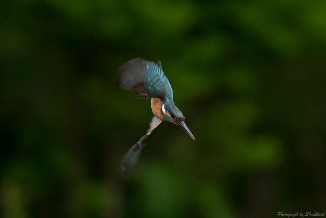 20180503-kingfisher-DSC_1277