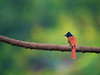 Indian paradise flycatcher (female) - அரசவால் ஈ பிடிப்பான்