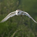 barn owl 2 2018 in flight