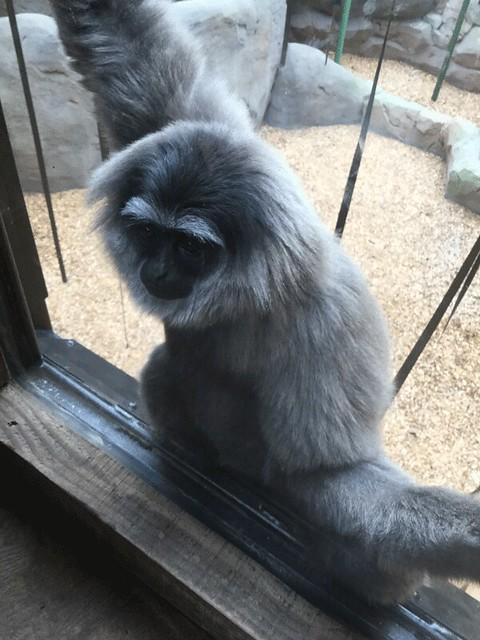 silvery-gibbon-watching-us