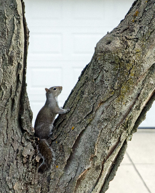 Squirrel in a Tree