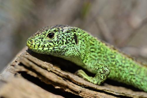 Male Sand Lizard (Lacerta agilis)