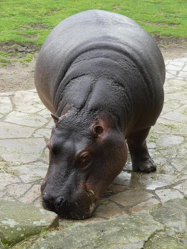Flusspferd, Zoo Berlin